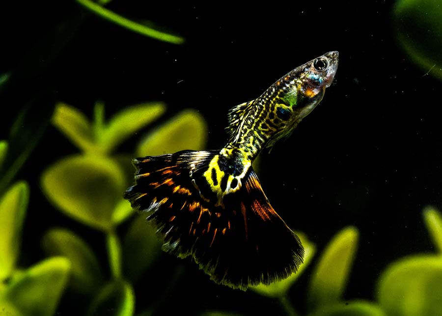 General fish health archives david 39 s aquarium advice for Easiest fish to take care of