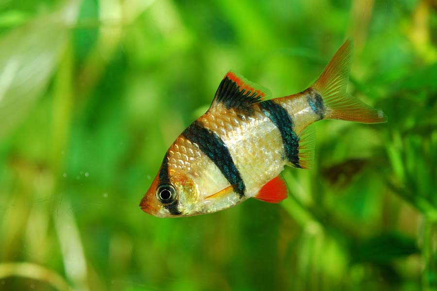 Tiger barb Puntius tetrazona over green plant background in aqua