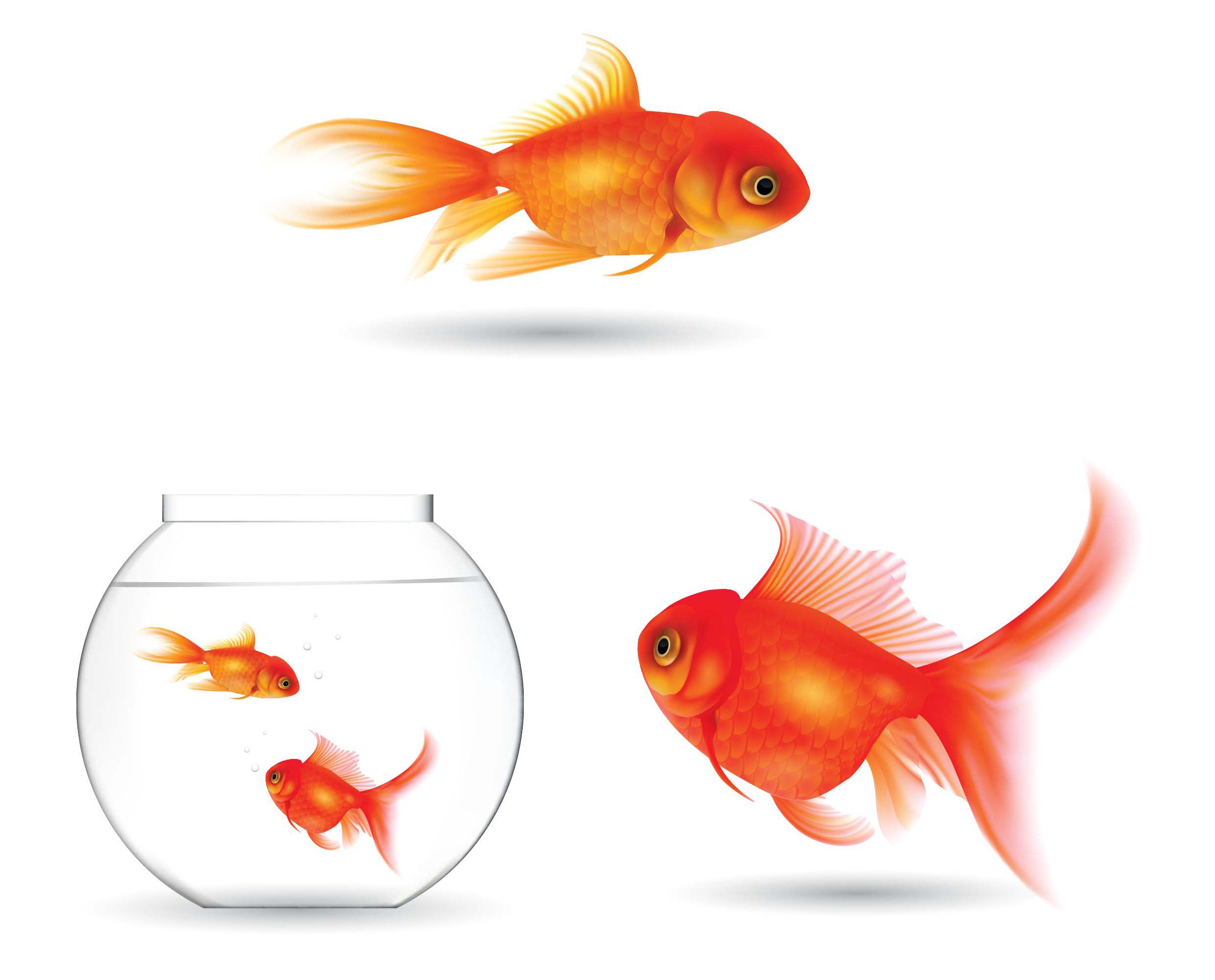 How big do goldfish get for Big gold fish
