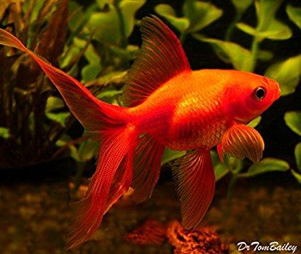 Fantail Goldfish - Live Freshwater Aquarium Fish