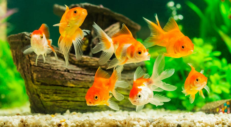 Goldfish Aquarium 101 Everything You Need to Know