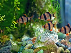 Tiger Barb Tank Mates The Top 6 Companions